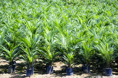 Potted Oil Palm Seeds